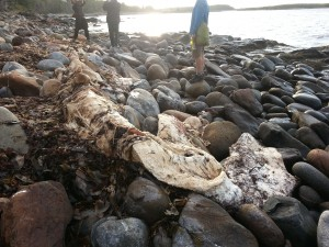 Whale bone / decaying carcass